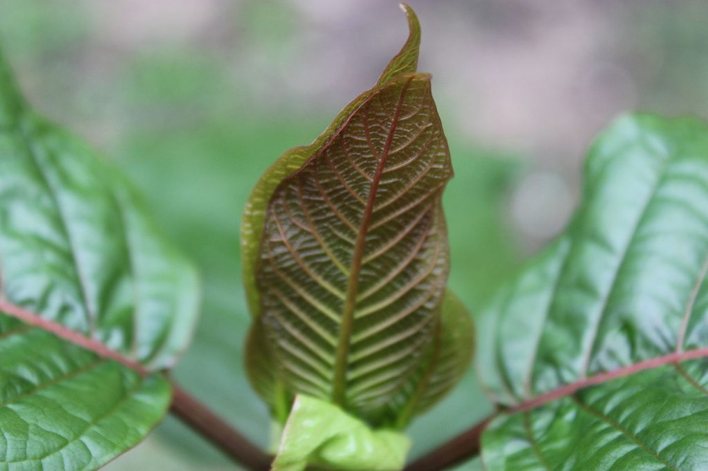 Close up image of kratom leaves.