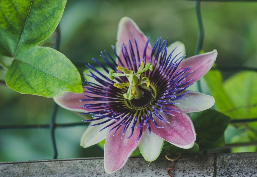 A close up of a passion flower.